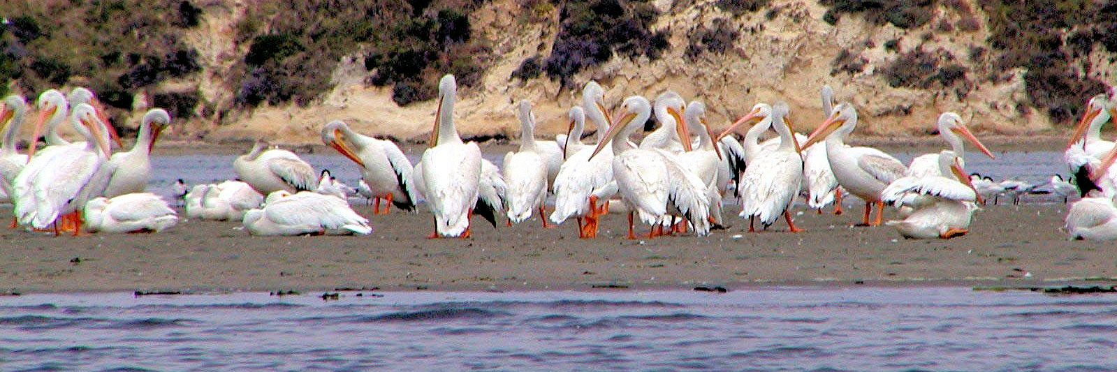 white_pelicans_cropped2